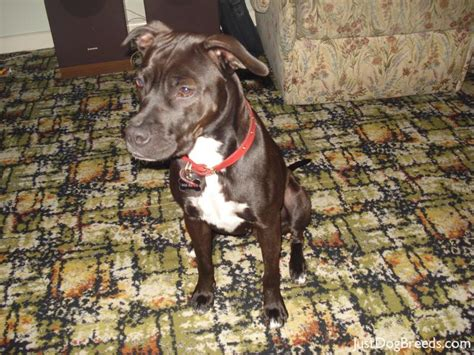 Staffy Shedding by Boo American Staffordshire Terrier Breeds
