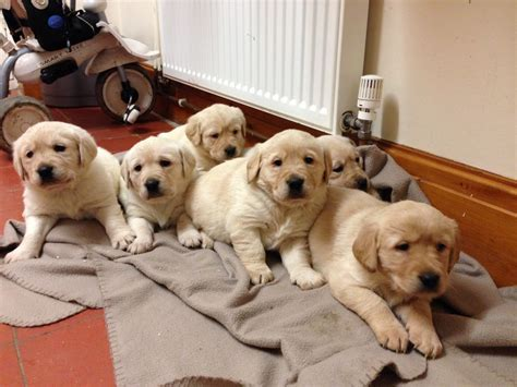 golden retriever cross puppies for sale labrador retriever cross golden retriever puppies holywell clwyd pets4homes