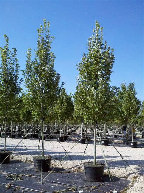 30 gallon maple tree tree land nursery dallas october maple tree