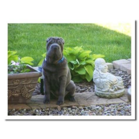 free puppies canton ohio steelrose shar pei breeder in canton ohio