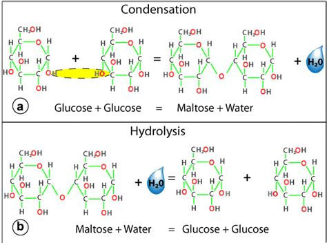 draw diagrams to illustrate condensation and hydrolysis reactions biobook leaf how are all the molecules of produced