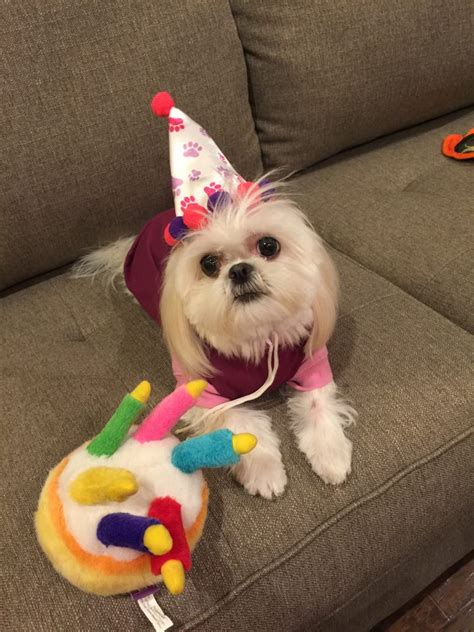happy birthday shih tzu pictures shih tzu r us quot happy 1st birthday quot