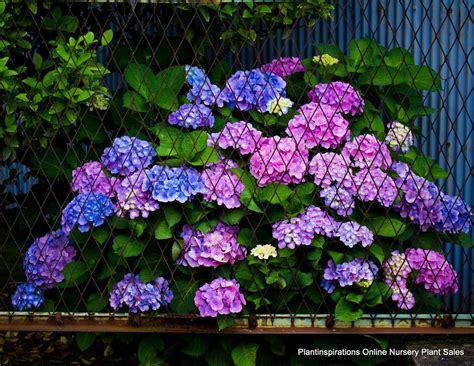 Which Plants Flower In Shade The Best Hydrangea Flowers For Shade Garden