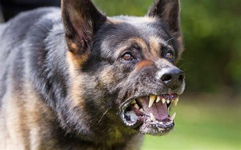 most vicious dogs amazing photos the most dangerous in the world