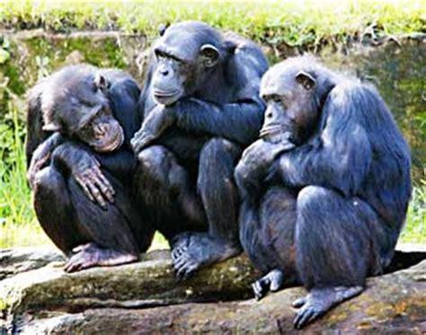 Sets Dunia Hewan Dan Tumbuhan perilaku simpanse mirip dengan manusia saat bermain