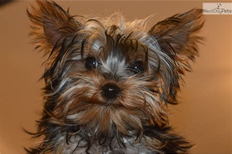 yorkie puppies in illinois roki terrier yorkie puppy for sale near chicago illinois 217deb6f 7121