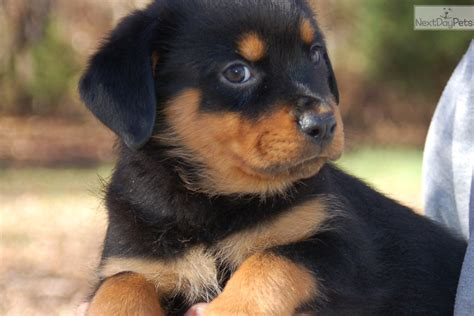 puppy rottweiler for sale near me rottweiler puppy for sale near springfield missouri 3e5d50e8 2641