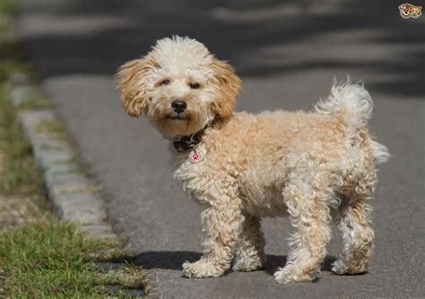 cavapoo dogs cavapoo breed information buying advice photos and facts pets4homes