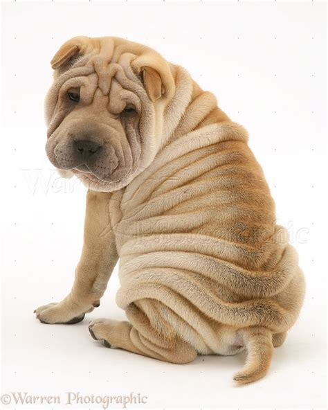 shar pei puppies 50 most beautiful shar pei photos and pictures