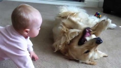 golden retriever kills baby how dangerous is this this