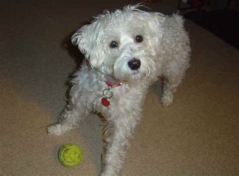 Schnoodle Shedding by Poodle Mix 20 To 30 Pounds Breeds Picture