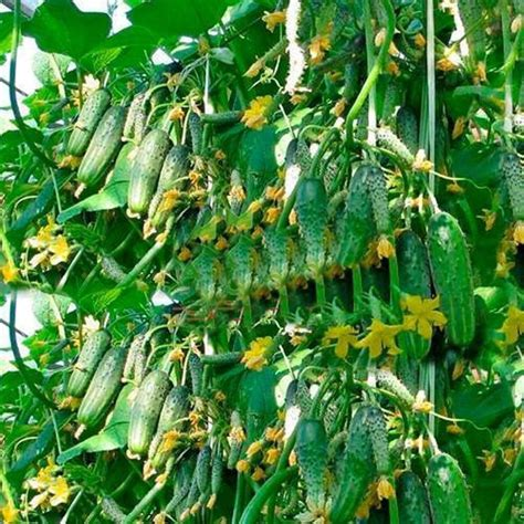 cucumber seeds cucumber selling 20pcs seeds fruit cucumber