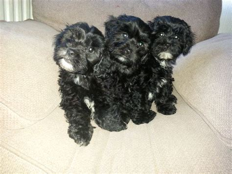 shih tzu poodle puppies shih tzu poodle mix pictures breeds picture