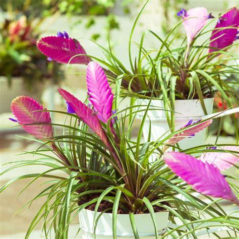 Les Filles De L Air Plantes fille de l air tillandsia cyanea plantes et jardins