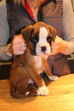 boxer puppies for sale in illinois 1000 ideas about boxer puppies for sale on boxer puppies boxers and