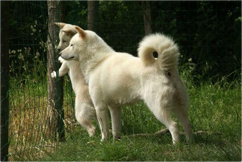 Hokkaido Dog - Pictures, Rescue, Puppies, Breeders ...