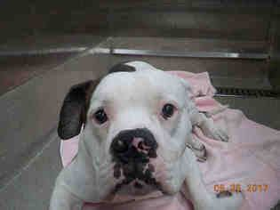 puppies for adoption in fort lauderdale view ad american bulldog for adoption florida fort lauderdale usa