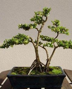 Ficus Benjamina Bonsai 3528 bonsais cuidados on bonsai trees bonsai and