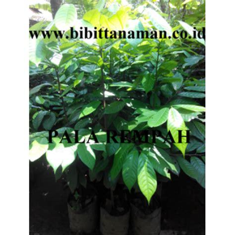 Bibit Pala agustus 2015 jual bibit tanaman rempah kayu langka