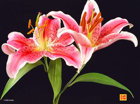 lilies lilium wallpapers