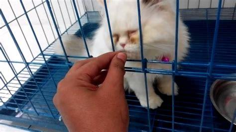 Minyak Ikan Kucing cara memberi minyak ikan pada kucing