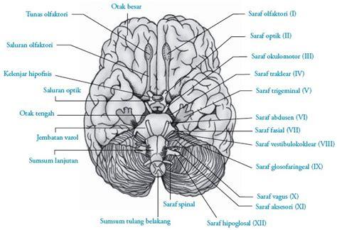 saraf otak kranial manusia struktur fungsi bagian