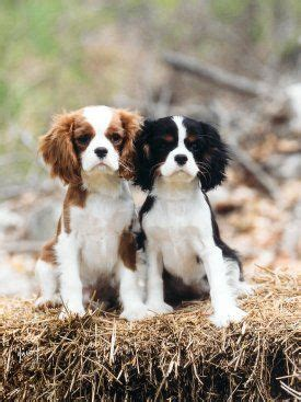 blenheim color cavalier king charles spaniels blenheim and tri color