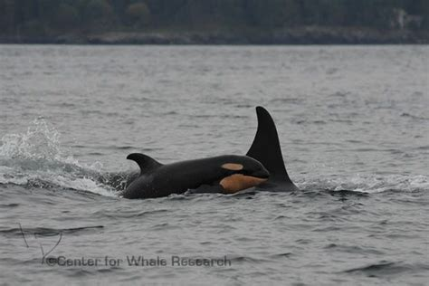 Vancouver Birth Records Orca Pod On B C S West Coast Records Third Birth Of 2015
