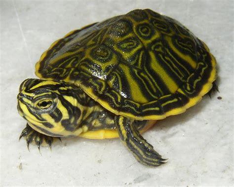 lade per tartarughe d acqua traffico internazionale di tartarughe www dialessandria it