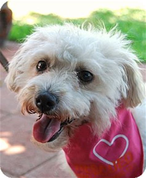 Do Parson Terrier Shed by Cosita I Do Not Shed Adopted Los Angeles Ca