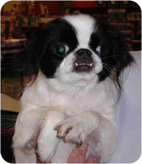 japanese dog house secret adopted dog house springs mo japanese chin