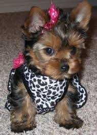 yorkie clothes for males yorkie dogs on yorkie puppy clothes and dresses