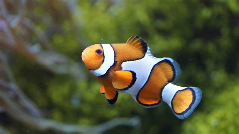 3d Origami Nemo Fish Ikan Nemo nemo in your home the clownfish saltwater and