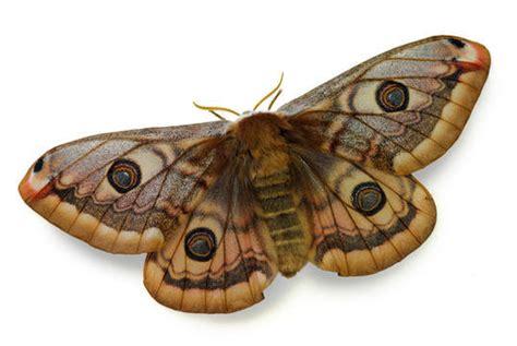 Carpet Beatle by Devon Pest Control Moth Control Amp Moth Treatments In Devon