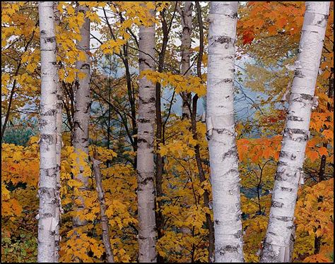 picture white birches and maples in fall hiawatha national forest upper michigan