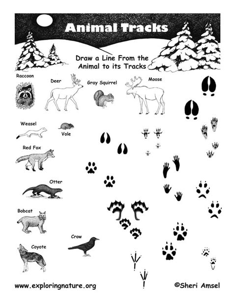 printable animal tracks identification matching animals to their tracks