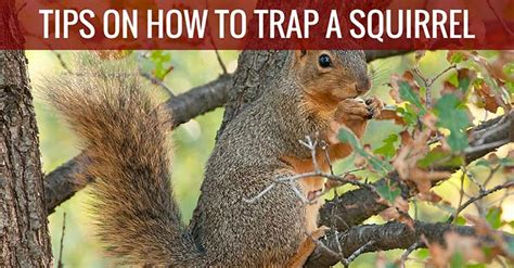 how to a squirrel how to catch a squirrel with traps baits the best way
