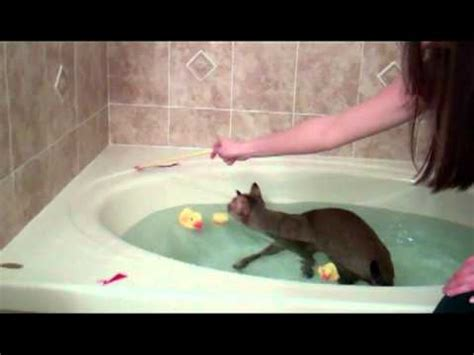 Cat Swimming In Bathtub by Gremmy The 75 Jungle Cat Hybrid Swimming And In The Tub