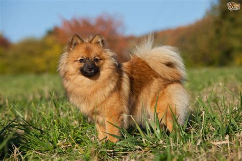 german spitz german spitz breed information buying advice photos and facts pets4homes