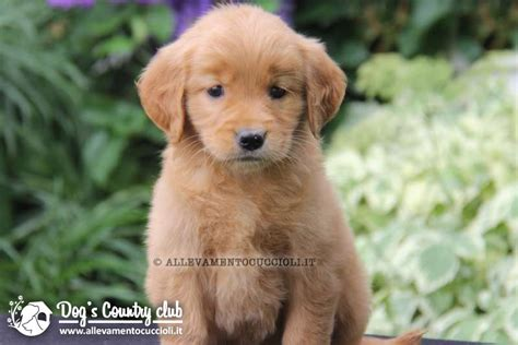 allevamento golden retriever pavia allevamento golden retriever pavia allevamentocuccioli it