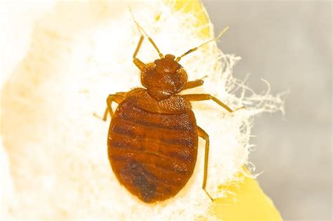 how long do bed bugs last 17 best images about don t let the bed bugs bite on