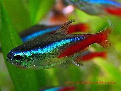 Pakan Ikan Hias Aquascape jenis jenis ikan hias air tawar aquascape paling lengkap