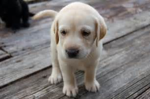 Yellow lab puppies for sale yellow lab puppies for sale