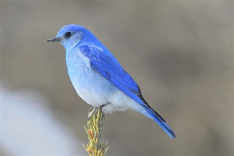 mountain bluebird a male mountain bluebird looks for