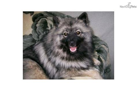 keeshond puppies for sale near me akc keeshond puppies for sale breeds picture