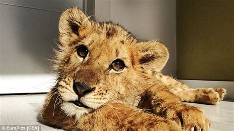 lion cub starved  spanish circus owners    stay