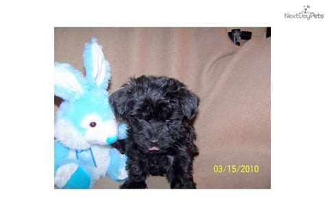 silky poo puppies meet a silky terrier puppy for sale for 200 silky poo