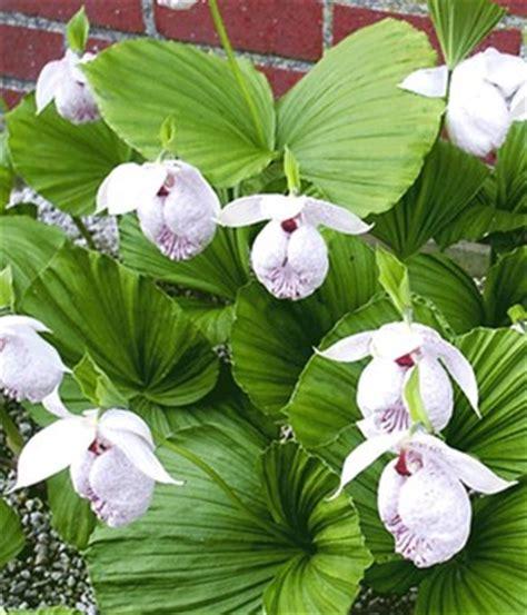 Winterharte Orchideen Im Eigenen Garten 1463 by Orchideen Winterhart Gartenorchideen Kaufen Bei Baldur Garten