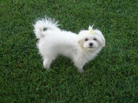 maltese and a yorkie mix white yorkie maltese mix www pixshark images galleries with a bite
