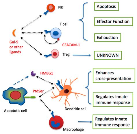 targeting pattern recognition receptors in cancer immunotherapy ijms free full text tim 3 as a target for cancer